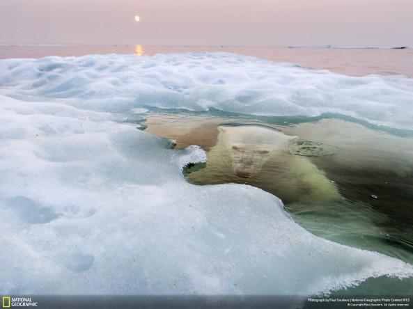 """""""Un oso polar sale a la superficie bajo el derretido hielo de la bahía de Hudson mientras atardece y el cielo rojo refleja del sur causados por las altas temperaturas. La población de osos Maniotba, la más sureña del mundo, se está viendo particularmente afectada por el cambio climático y la disminución de hielo en el mar."""""""