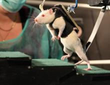 ratas_paraplejicas