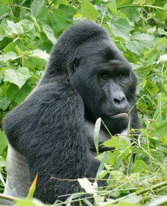 gorila de mntaña
