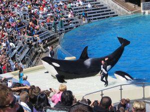 Orca cautividad