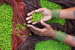 Agricultor de garbanzos en la india. Fotografía de Jorge Royan / Algunos derechos reservados.